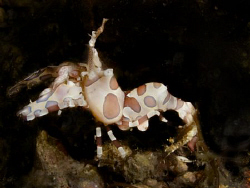 Harlequin shrimp. Canon G10... by Andrew Macleod 